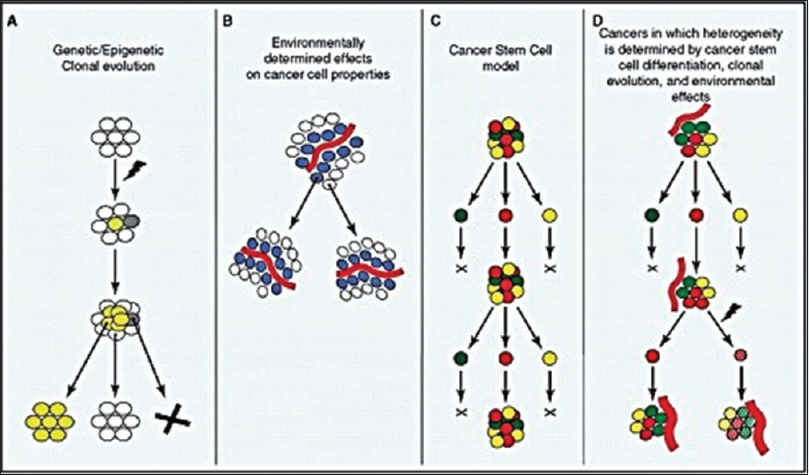 Figure 2: Tumor heterogeneity. A; Genetic /epigeneticclonall evolution, B: Environmentally determined effects on cancer cell properties,C: Cancer stem cell model, D: Cancers in which heterogeneity is determined by cancer stem cell differentiation, clonal evolution & environmental effects