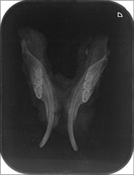 Figure 2: Periapical radiographs showing rats' lower jaw in 7 days after induction